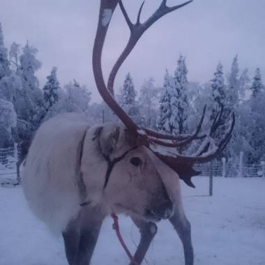 Reiska the Reindeer